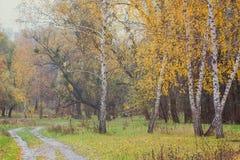 Bosque del otoño con los abedules amarillos Fotografía de archivo