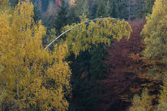 Bosque del otoño con un abedul curvado Imagen de archivo libre de regalías