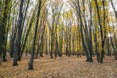 Bosque del otoño en la puesta del sol imagenes de archivo