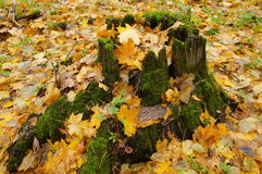 Bosque del otoño, tocón cubierto de musgo Foto de archivo libre de regalías
