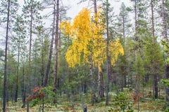 bosque del otoño y abedul amarillo Imagenes de archivo