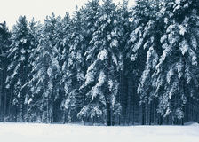 Bosque del paisaje del invierno, árboles de pino cubiertos con nieve Foto de archivo libre de regalías