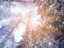 Bosque del paisaje del invierno en helada de la nieve con los haces luminosos soleados Fotos de archivo