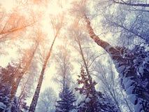 Bosque del paisaje del invierno en helada de la nieve con los haces luminosos soleados Foto de archivo