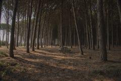 Bosque del pinesin Italia meridional Imagenes de archivo