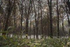 Bosque del pinesin Italia meridional Fotos de archivo