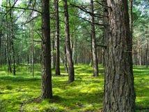 Bosque del pino. Foto de archivo