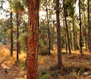 Bosque del pino Imagen de archivo libre de regalías