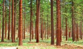 Bosque del pino fotografía de archivo