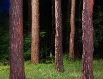 Bosque del pino Fotografía de archivo libre de regalías