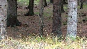 bosque del pino almacen de video