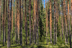 bosque del pino Foto de archivo libre de regalías