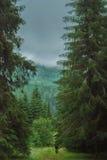 bosque del pino Fotos de archivo