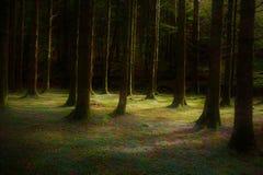 bosque del pino Foto de archivo