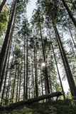 Bosque del pino con el último del sol que brilla a través de los árboles Foto de archivo libre de regalías