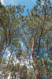 Bosque del pino con el cielo azul Imagenes de archivo