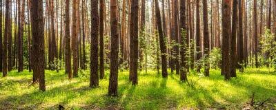 Bosque del pino con el sol que brilla a través de los árboles Imágenes de archivo libres de regalías
