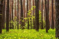 Bosque del pino con el sol que brilla a través de los árboles Fotos de archivo