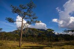 Bosque del pino con la montaña Fotografía de archivo libre de regalías