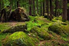 Bosque del pino con las rocas y el musgo verde Foto de archivo