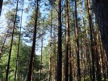 Bosque del pino con los abedules jovenes en el verano 21 Fotografía de archivo