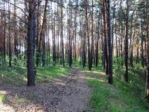 Bosque del pino con los abedules jovenes en el verano 23 Fotos de archivo libres de regalías