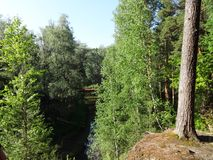 Bosque del pino con los abedules jovenes en el verano 24 Imagen de archivo