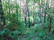 Bosque del pino con los abedules jovenes en el verano 27 Foto de archivo libre de regalías