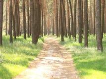 Bosque del pino con los altos árboles de pino hermosos en verano Imagenes de archivo