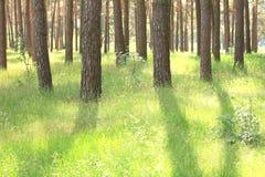 Bosque del pino con los altos árboles de pino hermosos en verano Foto de archivo