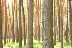 Bosque del pino con los altos árboles de pino hermosos en verano Fotografía de archivo libre de regalías