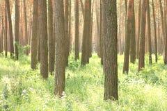 Bosque del pino con los altos árboles de pino hermosos en verano Imagen de archivo