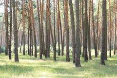 Bosque del pino con los altos árboles de pino hermosos en verano Fotografía de archivo