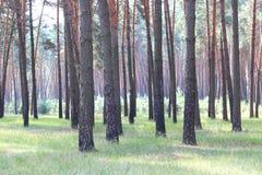 Bosque del pino con los altos árboles de pino hermosos en verano Imágenes de archivo libres de regalías