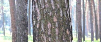 Bosque del pino con los altos árboles de pino hermosos en verano Foto de archivo libre de regalías