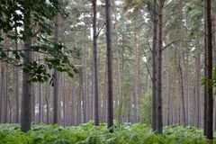 Bosque del pino con los helechos verdes por debajo árboles Imágenes de archivo libres de regalías