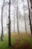Bosque del pino con niebla imagen de archivo