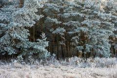 Bosque del pino cubierto con helada Foto de archivo