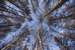 Bosque del pino cubierto por la nieve Imagen de archivo