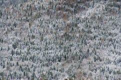 Bosque del pino cubierto por la nieve en un día de invierno frío En el entero Fotos de archivo