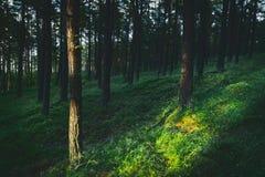 Bosque del pino del cuento oscuro y cambiante, mágico, de hadas fotografía de archivo