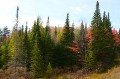Bosque del pino de Adirondack con los árboles de arce rojo Imagen de archivo libre de regalías