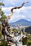 Bosque del pino de Bristlecone Imagen de archivo libre de regalías