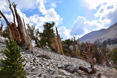 Bosque del pino de Bristlecone Imagen de archivo