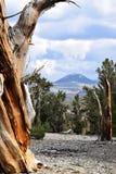 Bosque del pino de Bristlecone Imágenes de archivo libres de regalías