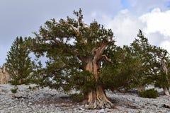 Bosque del pino de Bristlecone Foto de archivo libre de regalías