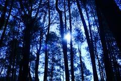 Bosque del pino de Indonesia Fotografía de archivo libre de regalías