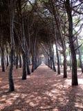 Bosque del pino de los árboles de pino a Fotos de archivo libres de regalías