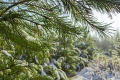 Bosque del pino del invierno Fotografía de archivo