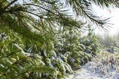 Bosque del pino del invierno Imagen de archivo libre de regalías